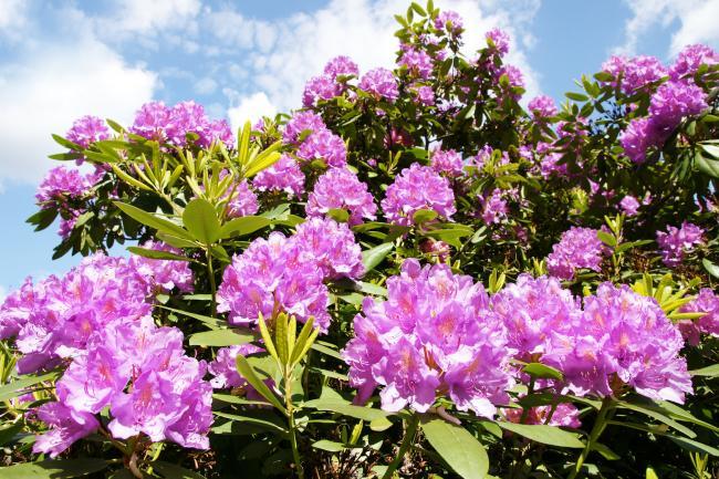 Rhododendron bij G 52